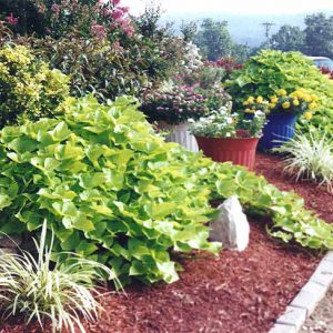 Sweet Potato vines and assorted flowers in Veterans Memorial Garden in Branson, MO>