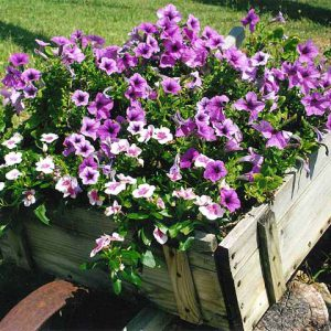 Wheel barrow planter filled with petunias and impatiensin Veterans Memorial Garden in Branson, MO.
