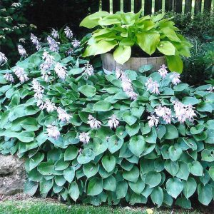 View of hostas in Veterans Memorial Garden in Branson, MO.